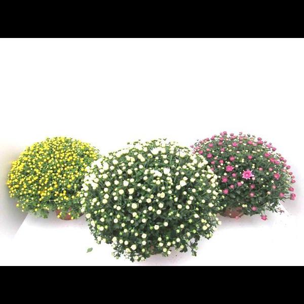 Chrysanthemum bola 3lt 40/50