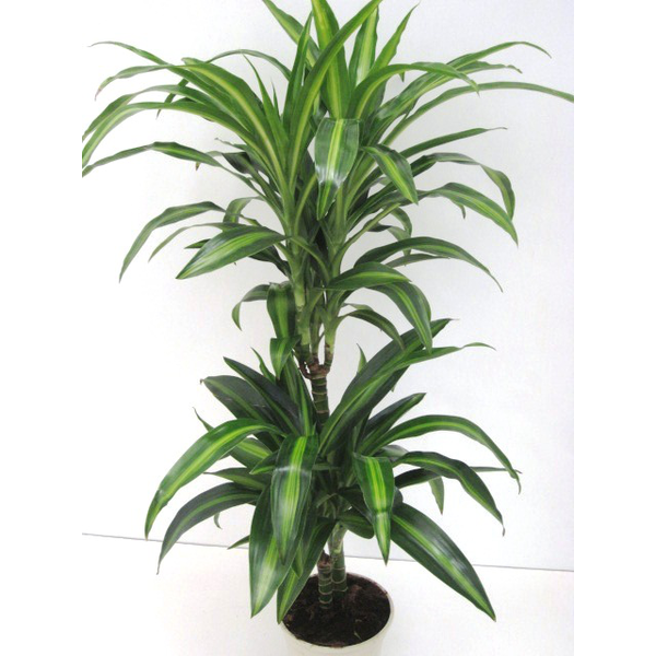 Dracaena hawaian sunchine 15/45