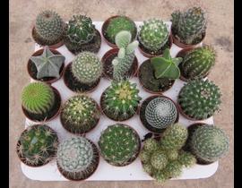 Bandeja cactus 5.5 pinchos