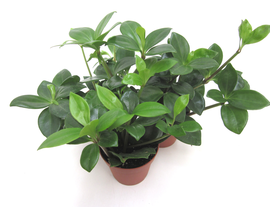 Peperomia peresquifolia 9