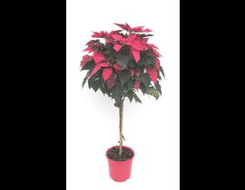 Poinsettia arbol m22 E09-25-0008/