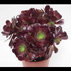 Aeonium arboreum m13