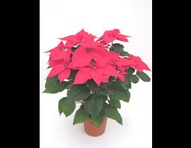 Poinsettia m17 E09-25-0008/