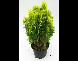 Thuya aurea nana 40/50 10lt