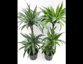 Dracaena deremensis 30/60/90 m22