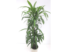 Dracaena hawaian sunchine 30/60/90