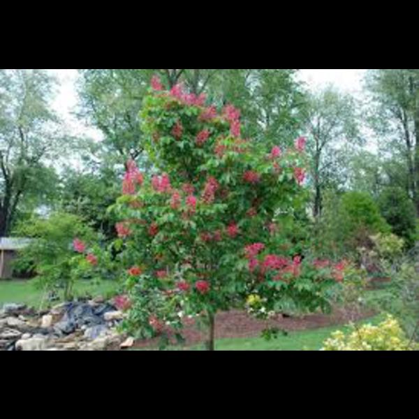 Aesculus carnea brioti rojo 6/8  200/250