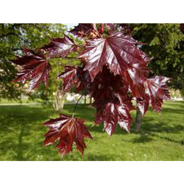 Acer plat.crimson king 10/12 maceta
