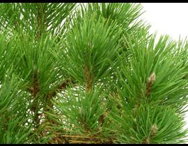 Pinus pinea m22 100/120