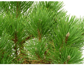 Pinus pinea m22 120/130