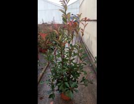 Photinia fras.red robin m14 40/50
