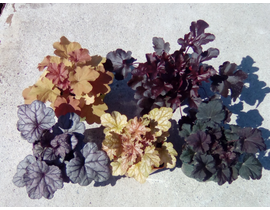 Heuchera mix 2lt
