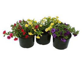 Calibrachoa mix 14