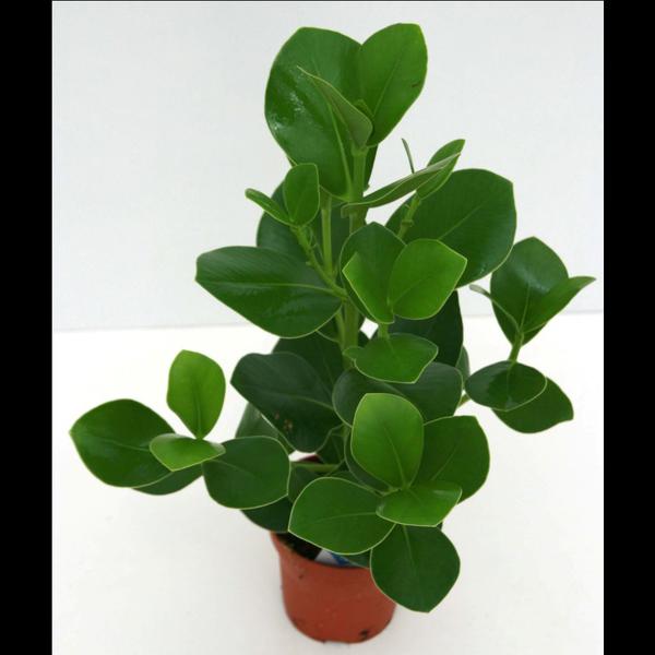 Clusia rosea m17 50/60