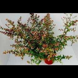 Abelia floribunda 3lt