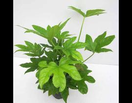 Aralia fatsia japonica m14