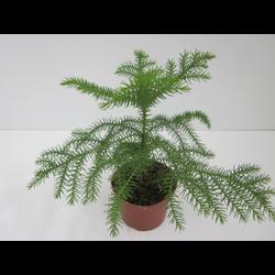 Araucaria 60/80cm 3lt