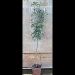 Sorbus domestica m20 100/125
