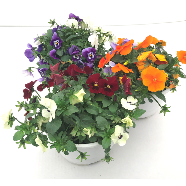 Viola cornuta tarrina 15