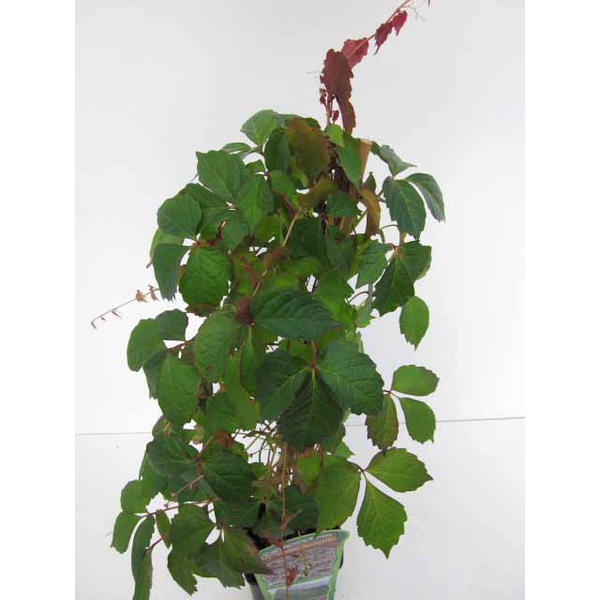 Ampelopsis veitchii m16 40/60