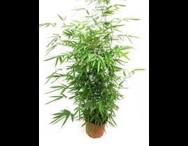 Bambu phyllostachys aurea 10lt 125/150