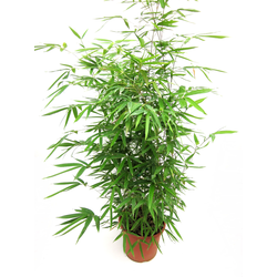 Bambu phyllostachys aurea 10lt 100/120