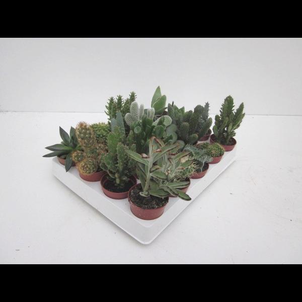 Bandeja cactus 5.5 20 unidades