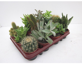 Bandeja cactus 8.5 12 unidades
