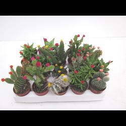 Bandeja cactus flor art. 5.5 20 unidades