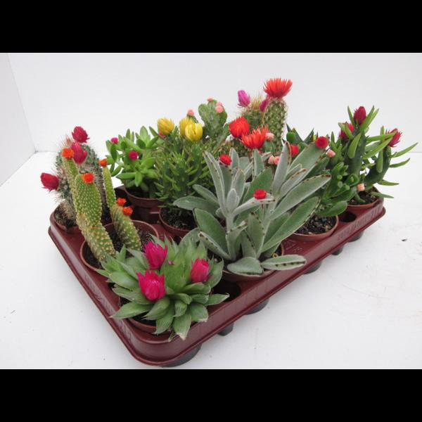 Bandeja cactus flor art. 8.5 12 unidades