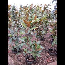 Magnolia grandiflora 80/100 12lt ES/09/250008