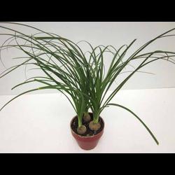 Beaucarnea 3plantes  m13