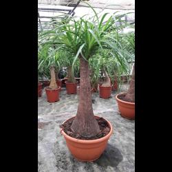 Beaucarnea recurbata t-20 30/40cm