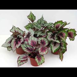 Begonia rex mix 9