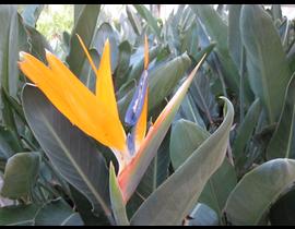 Sterlitzia reginae m13