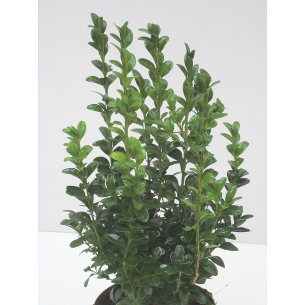 Buxus sempervivens 13