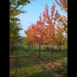 Acer freemani autumn blaze 12/14 maceta