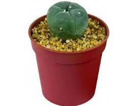 Cactus peyote m9 (lophophora williamsii)