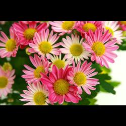 Chrysanthemum m12