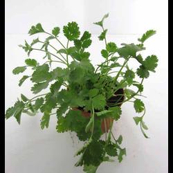 Cilantro 11 (coriandrum)