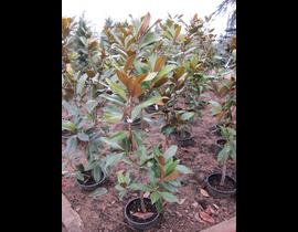 Magnolia grandiflora 12lt 90/110 ES/09/250008