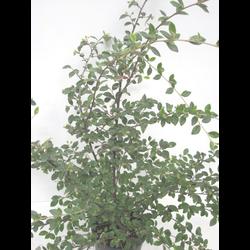 Cotoneaster lactea 3lt ES/09/250008