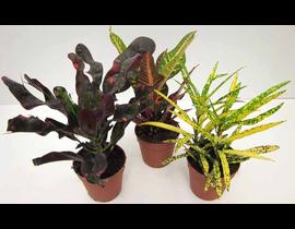 Croton mix 8