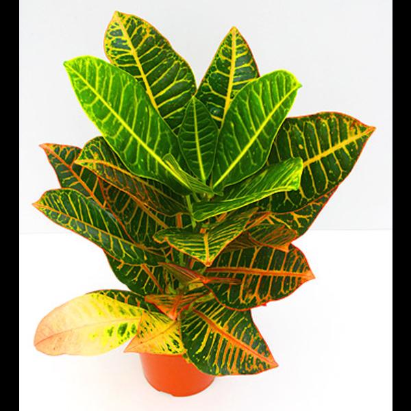 Croton norma petra m14 30/40cm