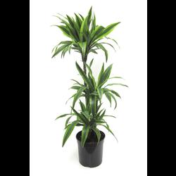 Dracaena deremensis 60 3tr 20m