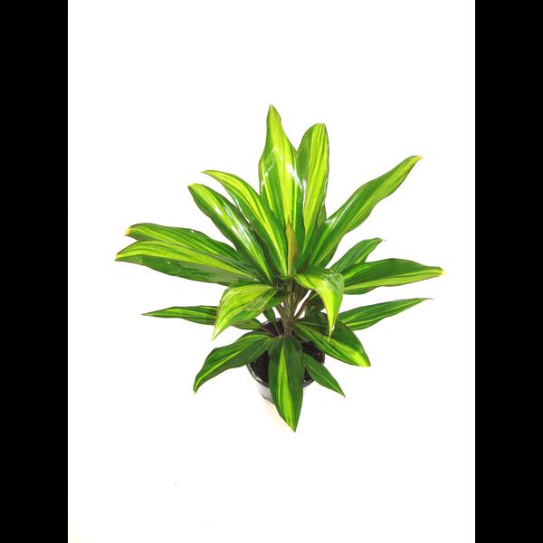 Dracaena kiwi 12