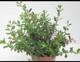 Escallonia rubra macrantha 3lt
