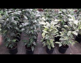 Ficus benjamina mix m13