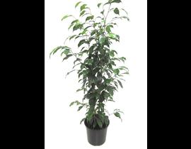 Ficus benjamina m17 70/80cm
