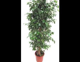 Ficus benjamina mix m25